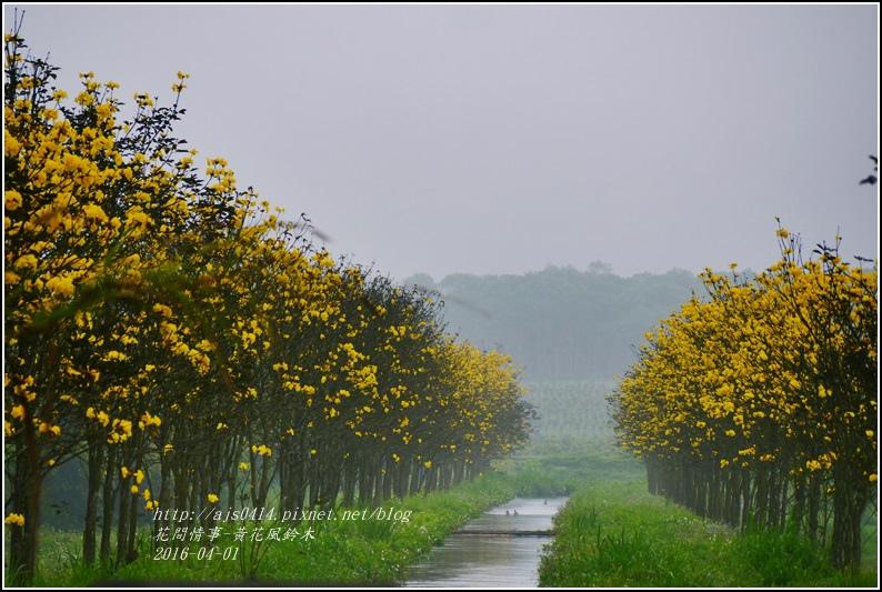 2016-04-黃花風鈴木1.jpg