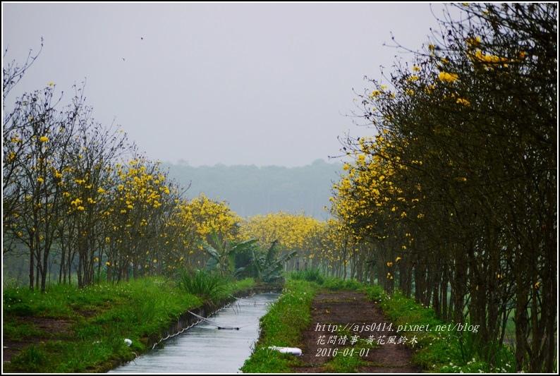 2016-04-黃花風鈴木17.jpg