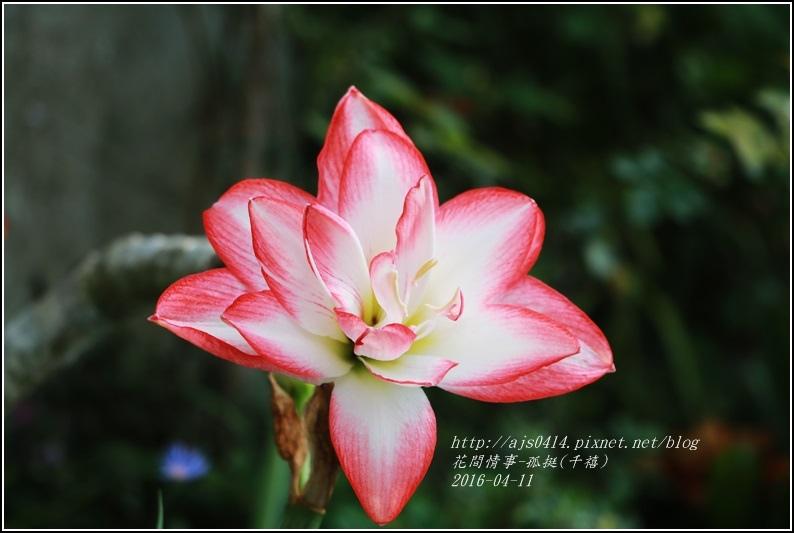 2016-04-孤挺(千禧)3.jpg