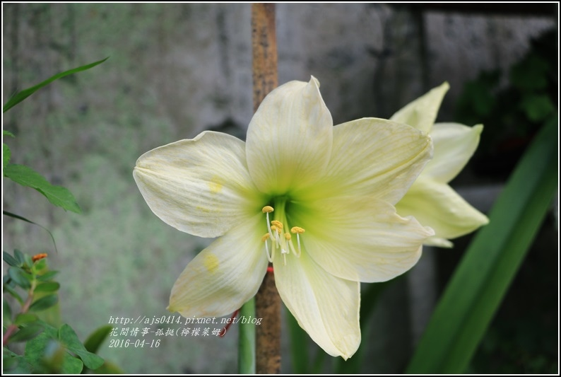 2016-04-孤挺(檸檬萊姆)4.jpg