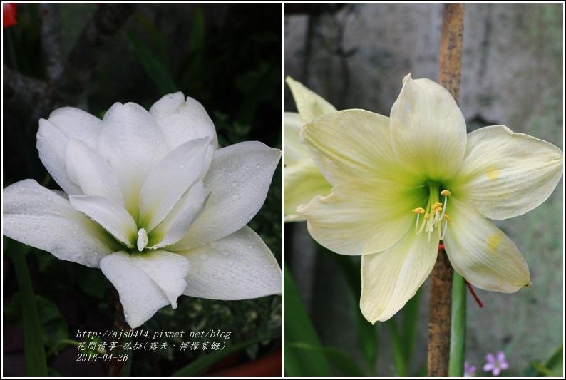 2016-04-孤挺(露天、檸檬萊姆).jpg