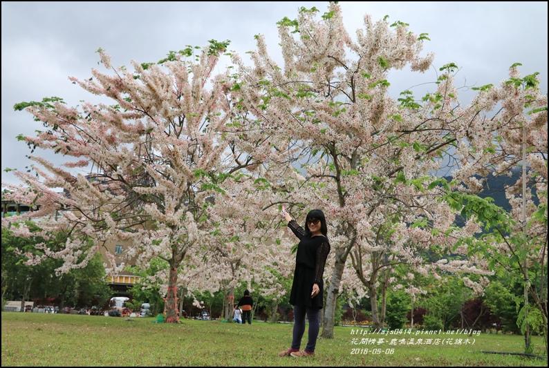 2016-05-鹿鳴溫泉洒店(花旗木)6.jpg