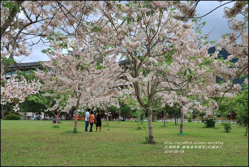 2016-05-鹿鳴溫泉洒店(花旗木)14.jpg