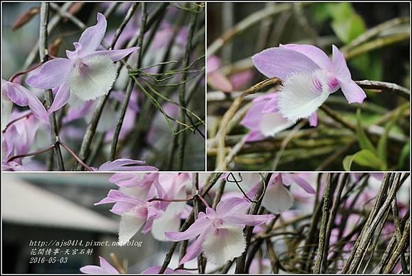 2016-04-天宮石斛9.jpg