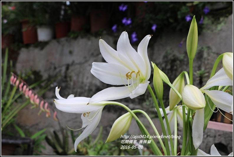2016-05-香殊蘭6.jpg