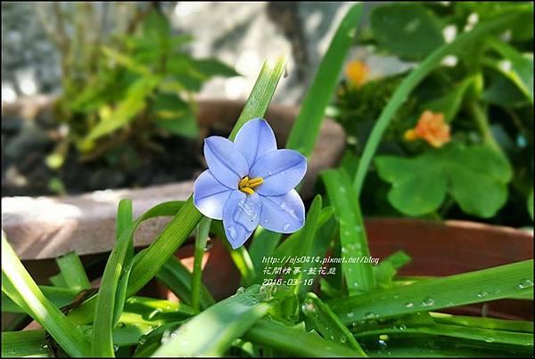 2016-05-藍花韭3.jpg