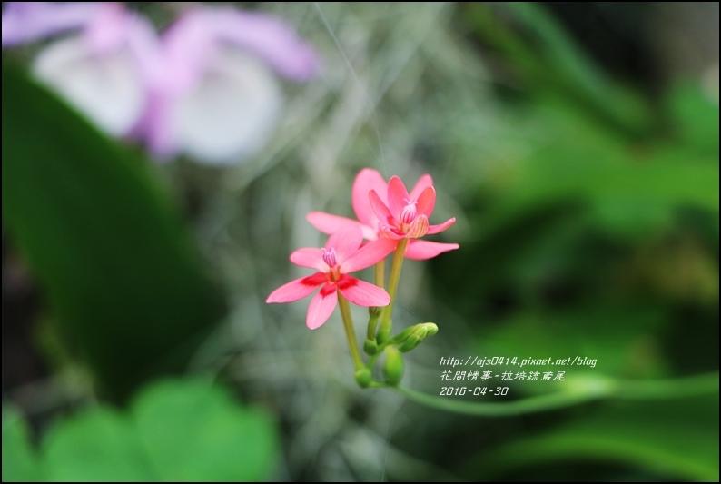 2016-05-拉培疏鳶尾2.jpg