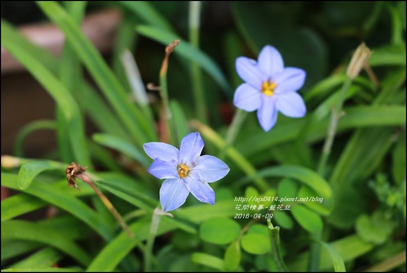 2016-05-藍花韭1.jpg