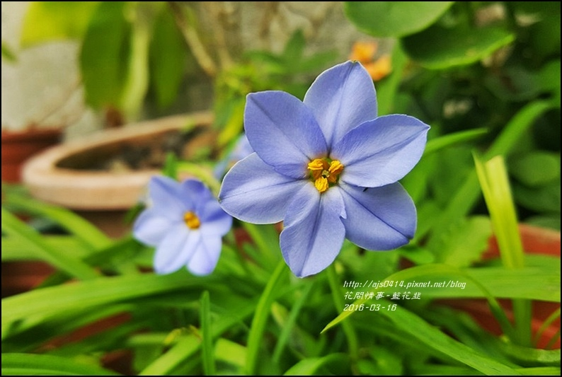 2016-05-藍花韭2.jpg