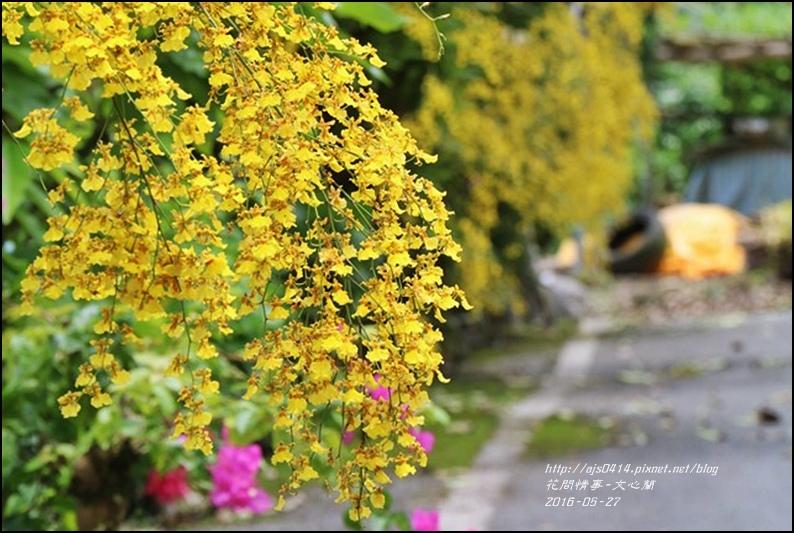 文心蘭-2016-05-13.jpg