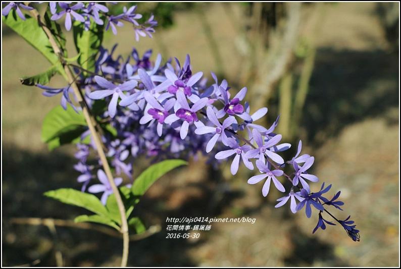 錫葉藤-2016-05-04.jpg