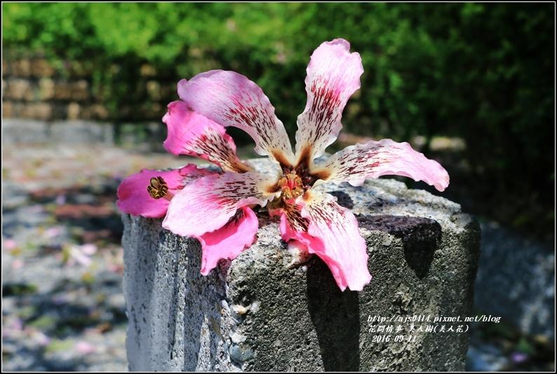 美人樹(花)-2016-09-07.jpg