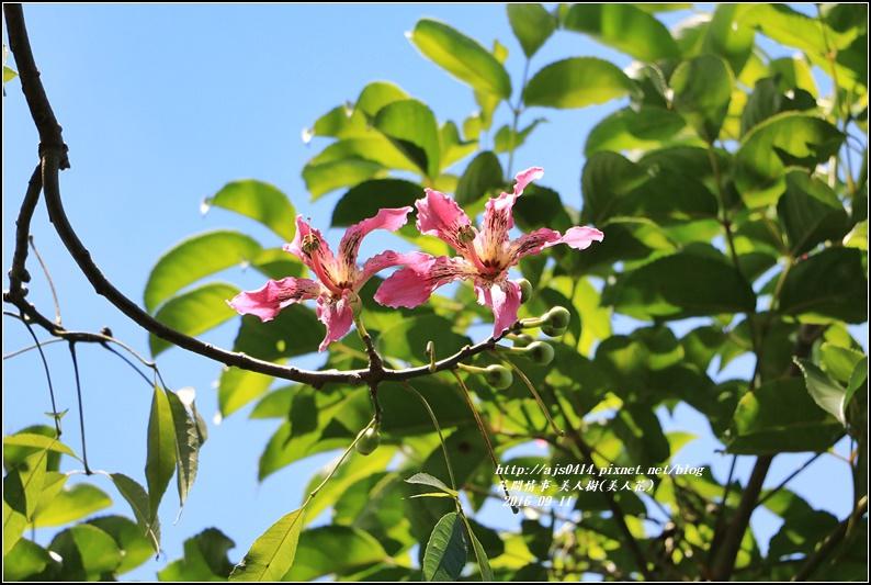 美人樹(花)-2016-09-08.jpg