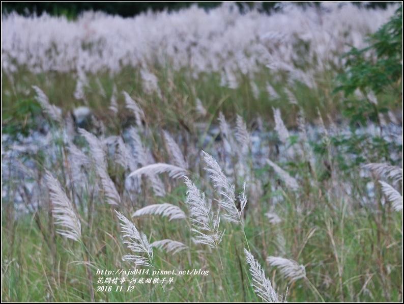 甜根子草(芒花)-2016-11-19.jpg