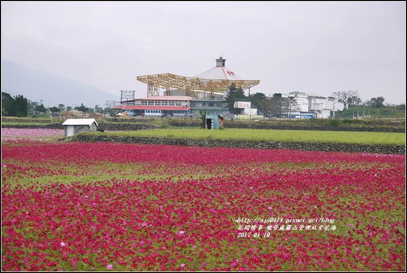 縱管處羅山管理站旁花海-2017-01-15.jpg
