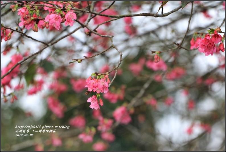 玉山神學院櫻花-2017-01-06.jpg