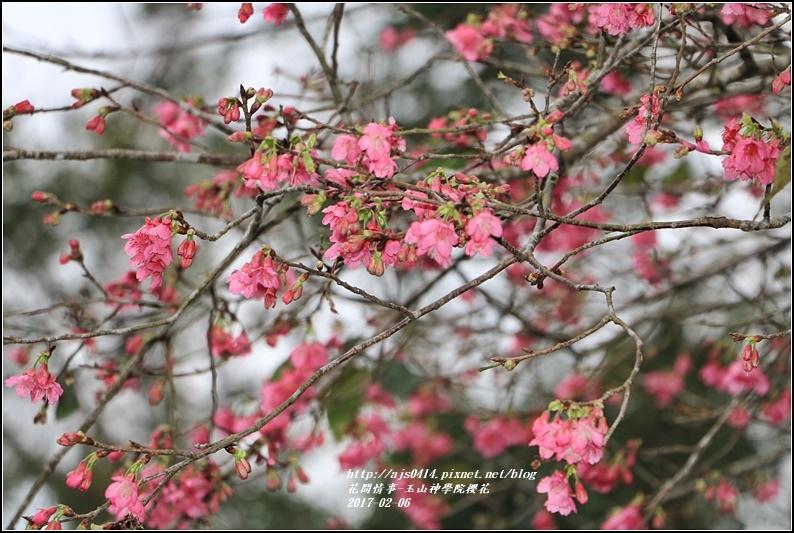 玉山神學院櫻花-2017-01-07.jpg