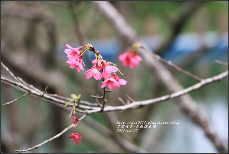 碧赫潭櫻花-2017-01-03.jpg