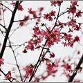 碧赫潭櫻花-2017-01-04.jpg