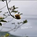 黃花風鈴木(富源國中旁)-2017-03-07.jpg