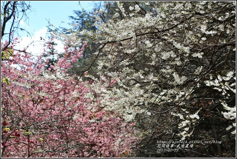 武陵農場霧社櫻-2017-02-03.jpg