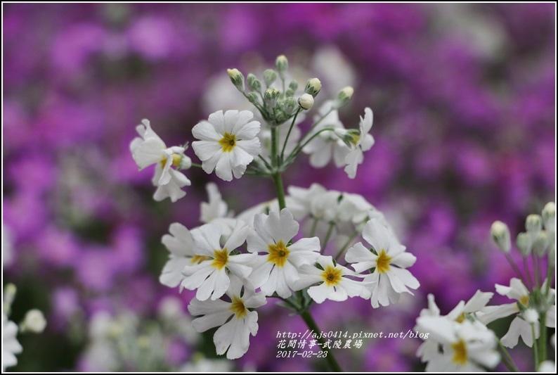 武陵農場報春花-2017-02-04.jpg