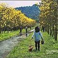黃花風鈴木(富源國中旁)-2017-03-56.jpg