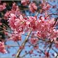 武陵農場巡櫻-2017-02-161.jpg