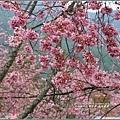 武陵農場巡櫻-2017-02-169.jpg
