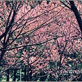 武陵農場巡櫻-2017-02-183.jpg