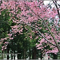 武陵農場巡櫻-2017-02-185.jpg
