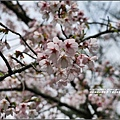 中橫公路吉野櫻-2017-03-03.jpg