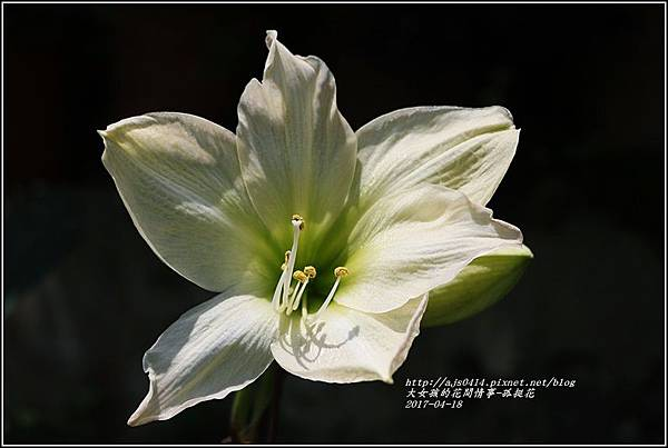 孤挺花-2017-04-13.jpg