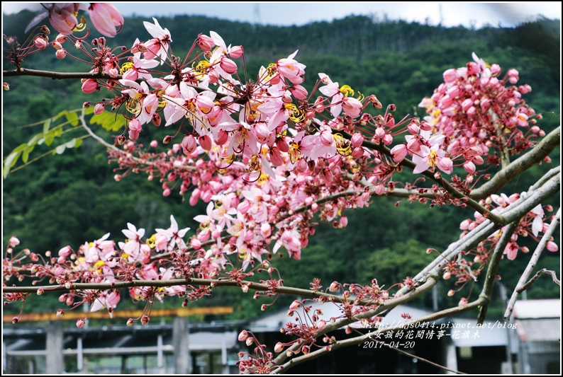 花旗木(桃紅陣雨樹)-2017-04-05.jpg