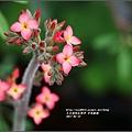 多肉植物小花-2017-05-01.jpg