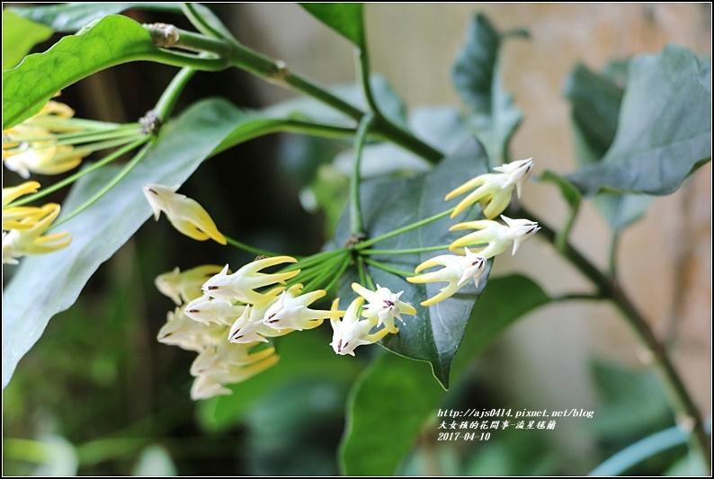 流星毬蘭-2017-04-03.jpg