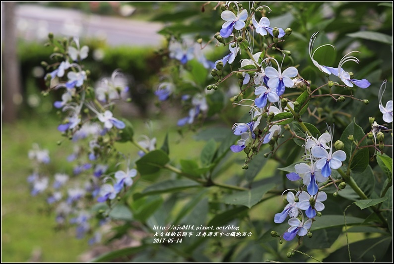 鐵炮百合花(秀姑巒溪泛舟中心)2017-05-12.jpg
