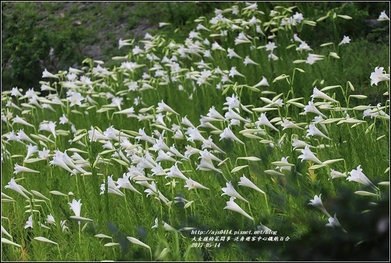 鐵炮百合花(秀姑巒溪泛舟中心)2017-05-14.jpg