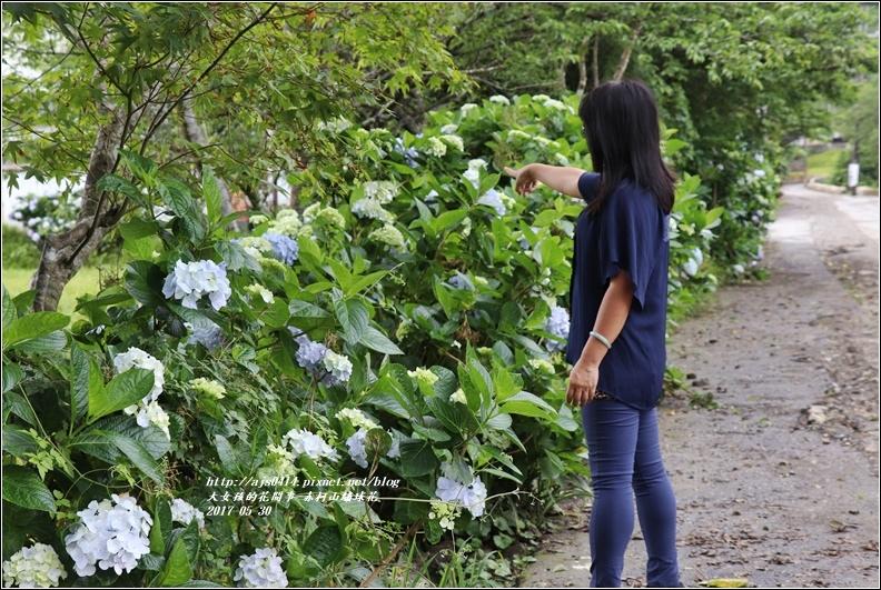 赤柯山繡球花-2017-05-06.jpg