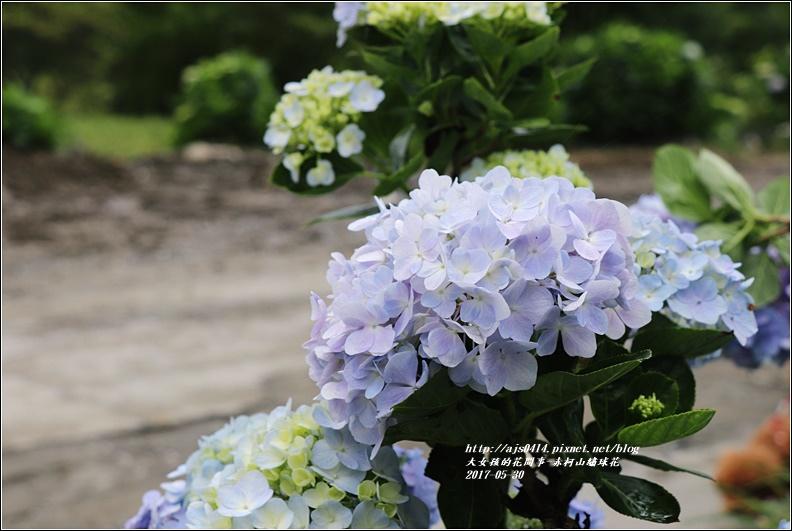 赤柯山繡球花-2017-05-12.jpg