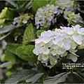 赤柯山繡球花-2017-05-14.jpg