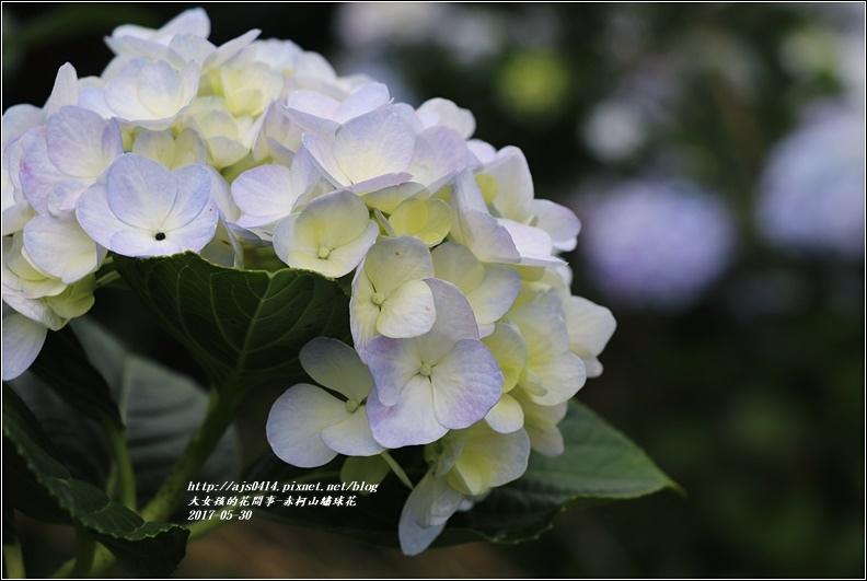 赤柯山繡球花-2017-05-15.jpg