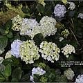 赤柯山繡球花-2017-05-17.jpg
