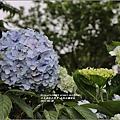 赤柯山繡球花-2017-05-16.jpg