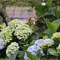 赤柯山繡球花-2017-05-24.jpg