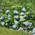 赤柯山繡球花-2017-05-27.jpg