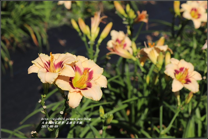 嘉德萱草園-2017-06-25.jpg