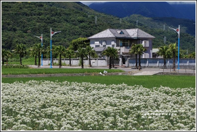 吉安韭菜花田-2017-09-03.jpg