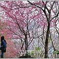 玉山神學院櫻花-2018-01-07.jpg