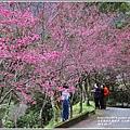 玉山神學院櫻花-2018-01-11.jpg